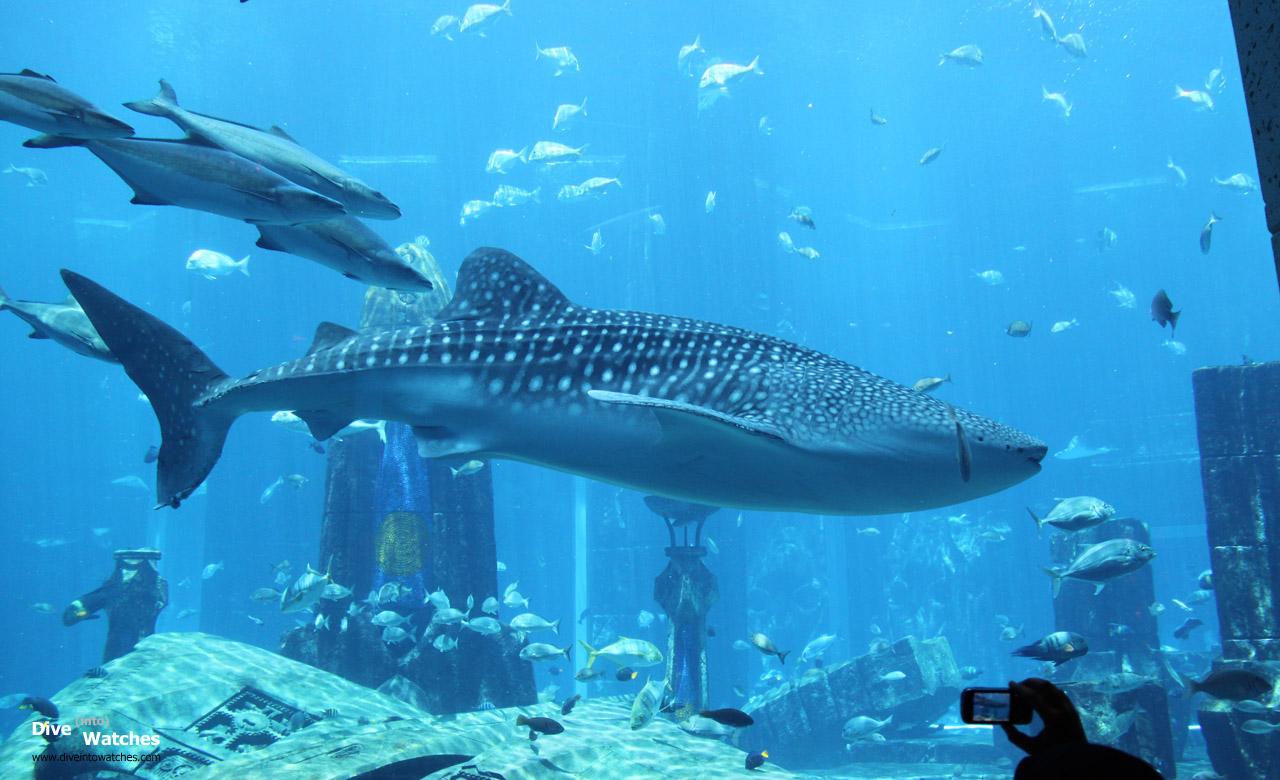 Whale_Shark_Atlantis_Dubai_2009